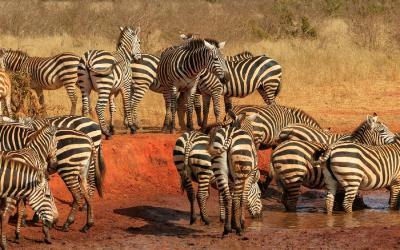 Tsavo NP, zebry | Keňa