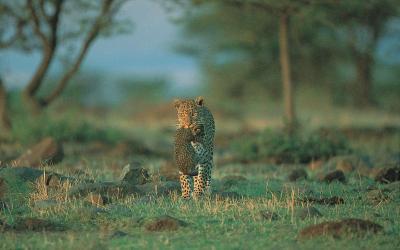 Levhart | Keňa