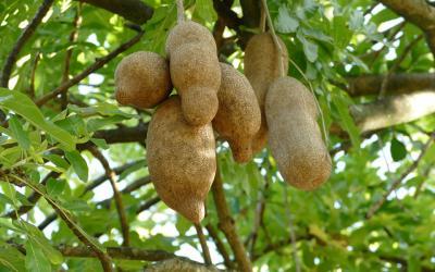exotické ovoce_kakaové boby