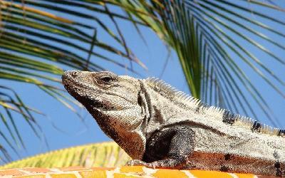 iguana-734079_1920