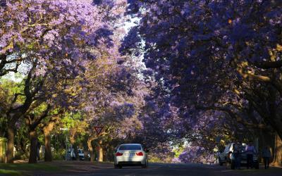 kvetoucí Žakarandy berou dech   Pretoris